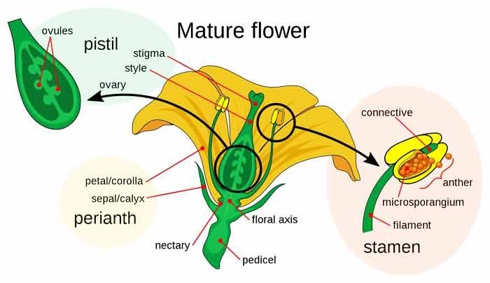 Sexual Reproduction in Flowering Plants